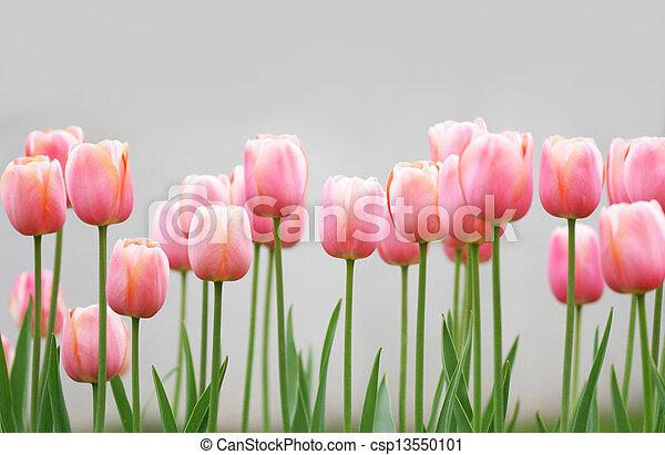 Tulipanes - csp13550101