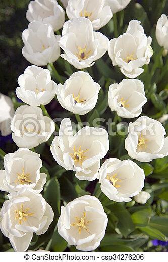 tulipanes, blanco, campo - csp34276206
