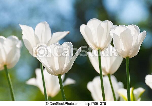tulipanes, blanco - csp17051376