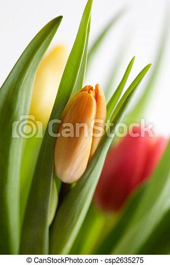 tulipanes, colorido - csp2635275
