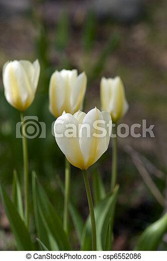 tulipanes - csp6552086