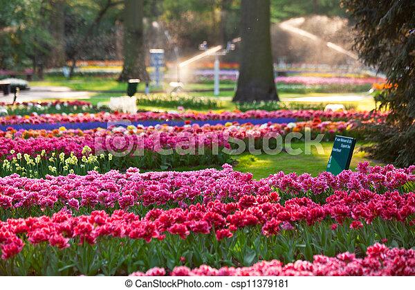 tulipanes, ocaso, light. - csp11379181