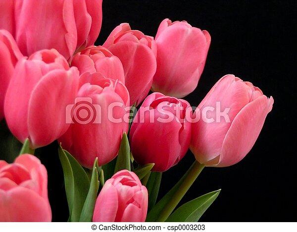 tulipany, valentine - csp0003203