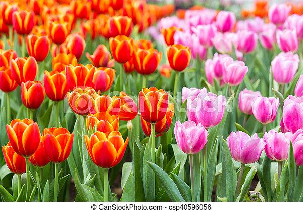 tulipe 56