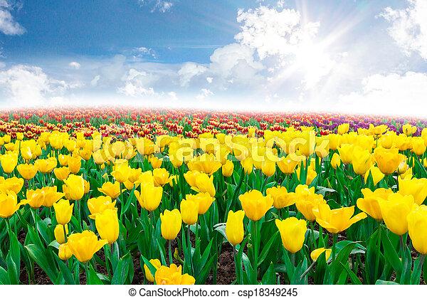 tulipe, fleurs - csp18349245