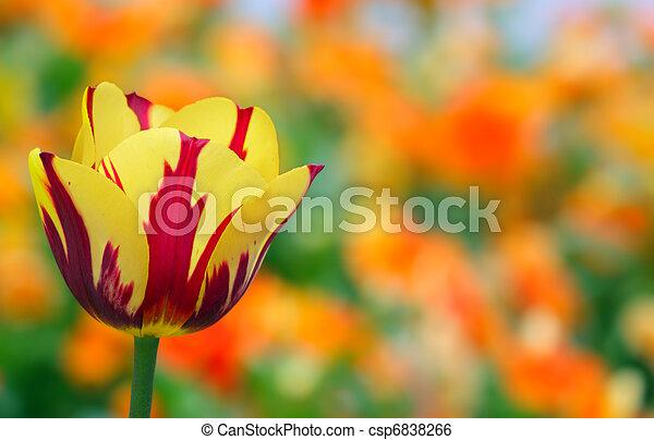 tulipe, jaune - csp6838266