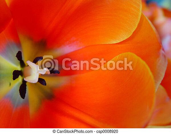 tulipe orange - csp0008920
