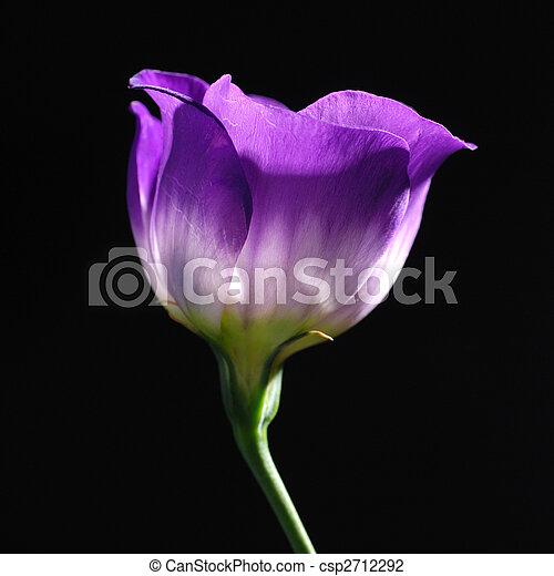 tulipe, pourpre - csp2712292