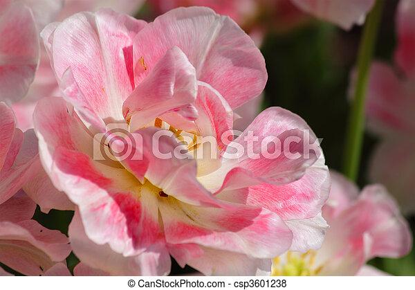 tulipe, rose - csp3601238