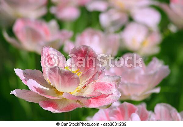tulipe, rose - csp3601239