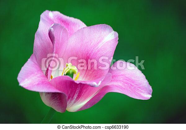 tulipe rouge - csp6633190