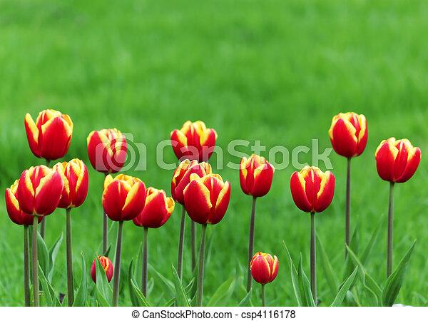 tulipe rouge - csp4116178