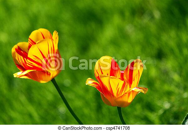 tulipe rouge - csp4741708