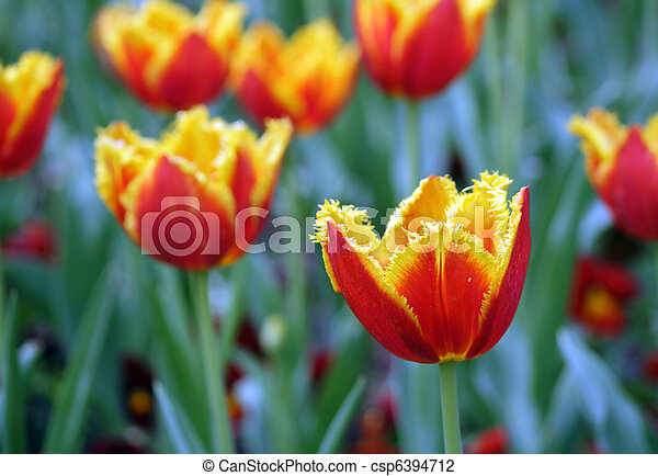 tulipe rouge - csp6394712