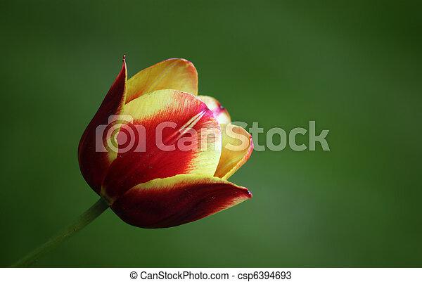 tulipe rouge - csp6394693