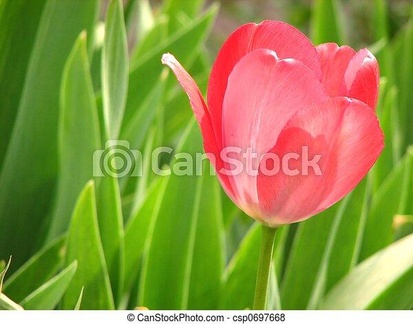 tulipe, rouges - csp0697668