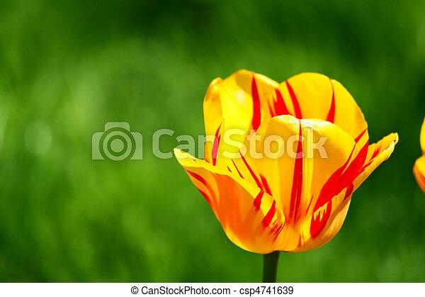 tulipe, rouges - csp4741639