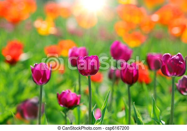 tulipes, champ - csp6167200