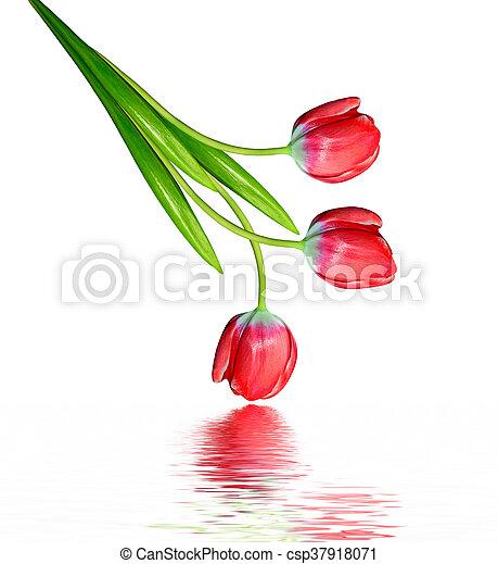 tulipes, isolé, arrière-plan., printemps, fleurs blanches - csp37918071