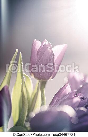 tulipes, pourpre - csp34467721