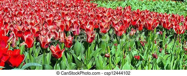 tulipes, printemps - csp12444102