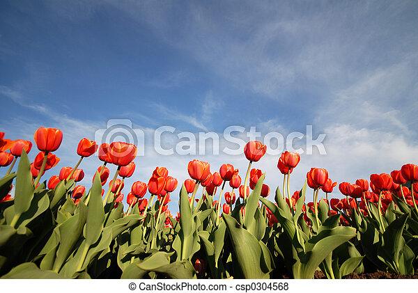 tulips - csp0304568