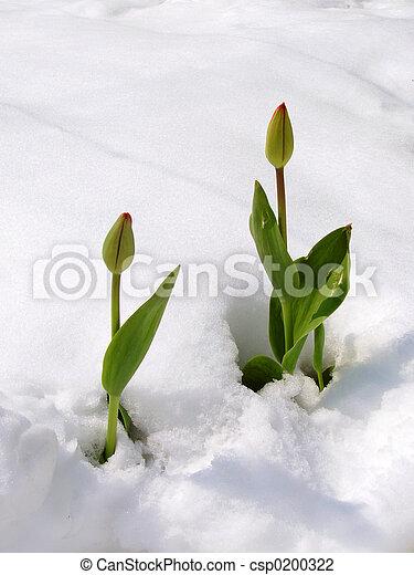 tulips, снег - csp0200322