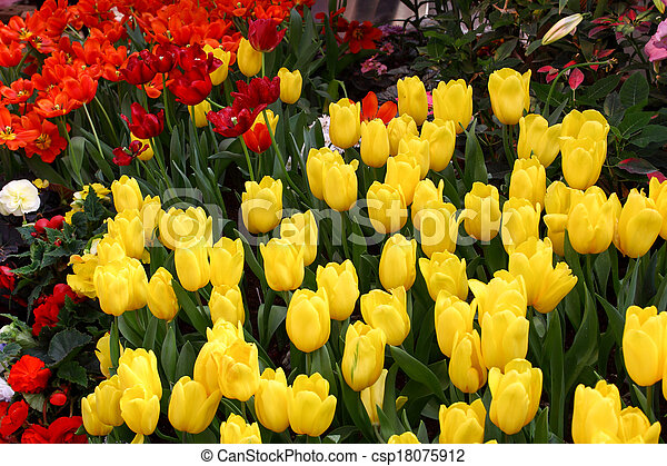 Tulips are grown up and exquisite. Parks - csp18075912
