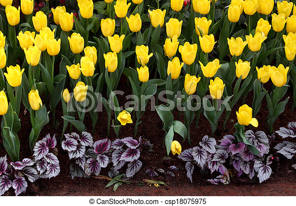 Tulips are grown up and exquisite. Parks - csp18075975