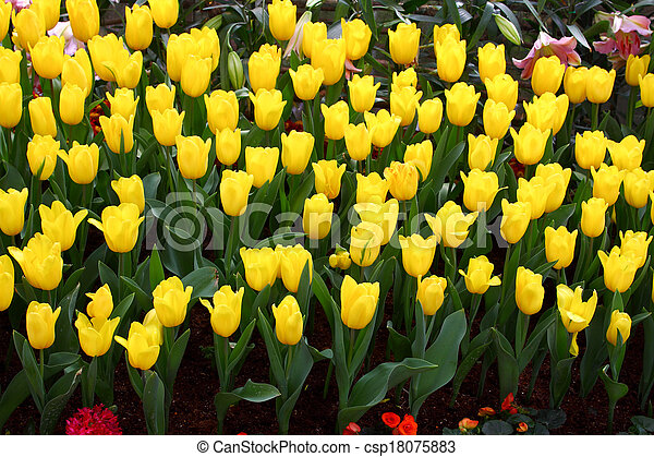 Tulips are grown up and exquisite. Parks - csp18075883