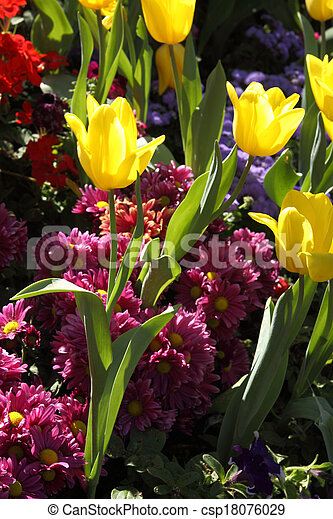 Tulips are grown up and exquisite. Parks - csp18076029