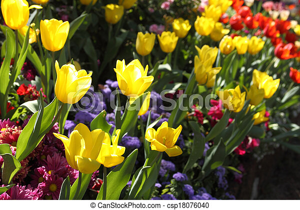 Tulips are grown up and exquisite. Parks - csp18076040