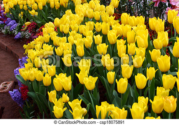 Tulips are grown up and exquisite. Parks - csp18075891