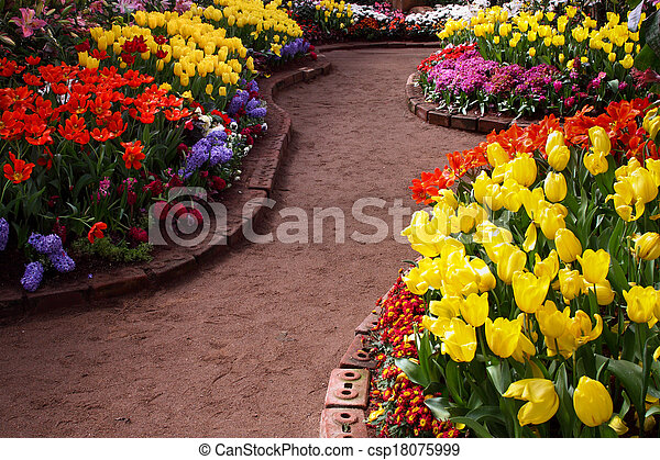 Tulips are grown up and exquisite. Parks - csp18075999
