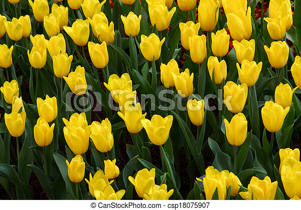 Tulips are grown up and exquisite. Parks - csp18075907