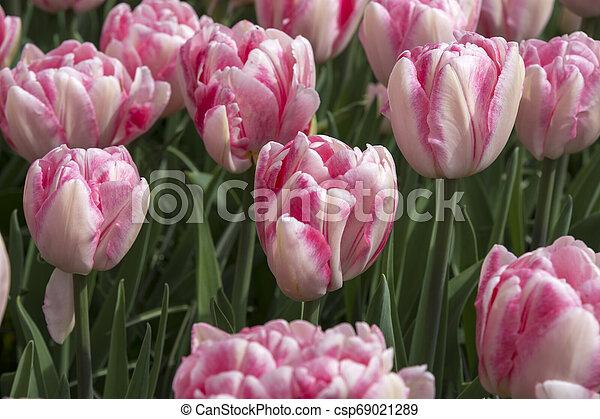 tulips at keukenhof in Holland - csp69021289