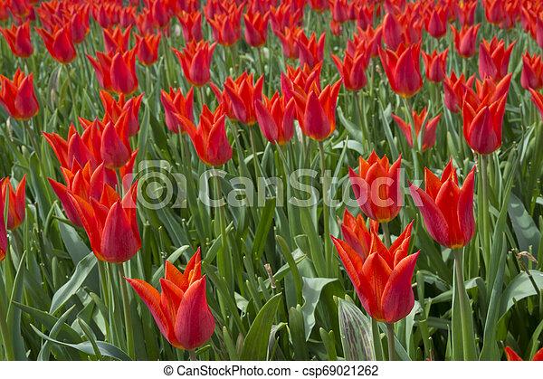 tulips at keukenhof in Holland - csp69021262