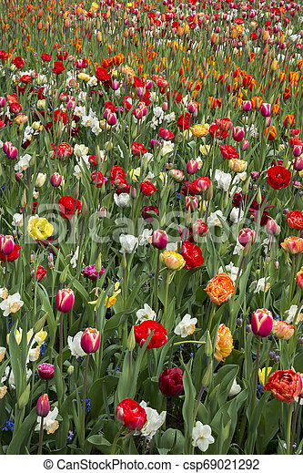 tulips at keukenhof in Holland - csp69021292