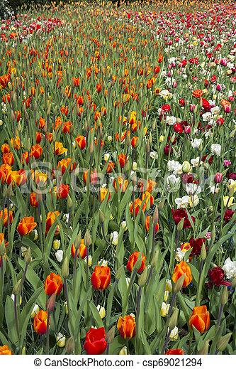 tulips at keukenhof in Holland - csp69021294