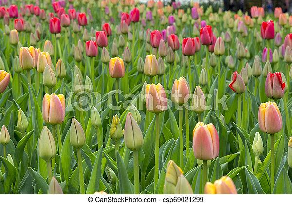 tulips at keukenhof in Holland - csp69021299