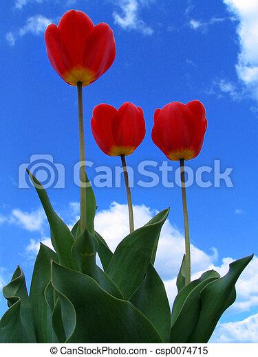 tulips - csp0074715