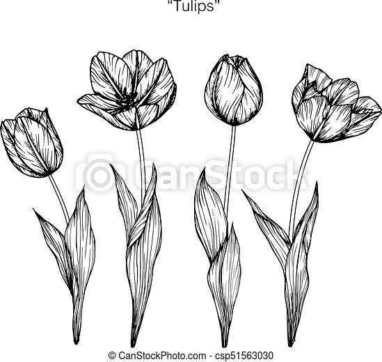 Tulips flower drawing and sketch with black and white vectors tulips flower drawing and sketch with black and white line art csp51563030 mightylinksfo