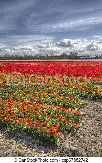 Tulips in Holland - csp67882742