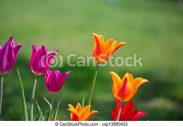 tulips in spring - csp13880433