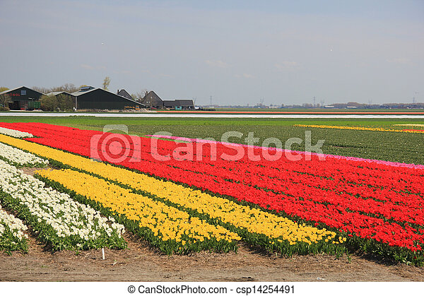 Tulips in various colors on a field - csp14254491