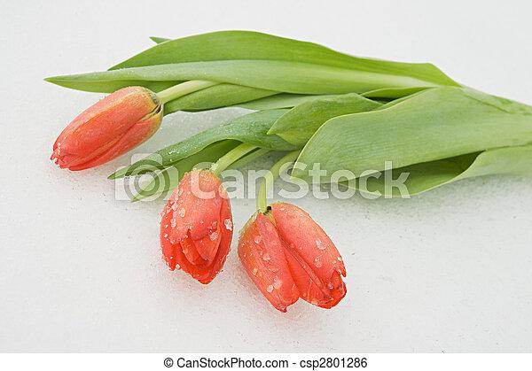 Tulips on snow - csp2801286