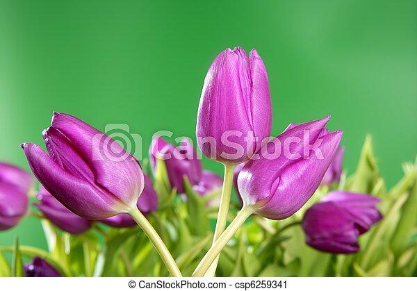tulips pink flowers vivid green background - csp6259341