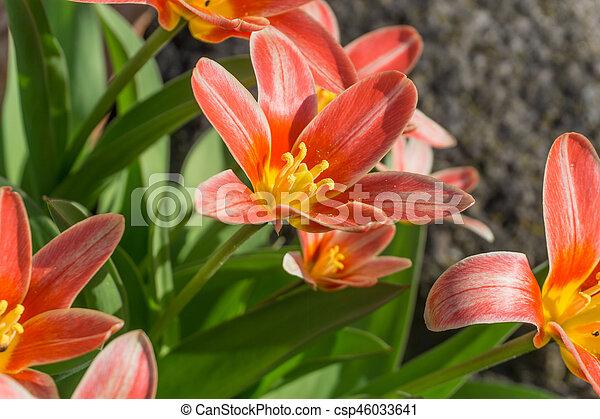 tulips, sole, colorato, giardino - csp46033641