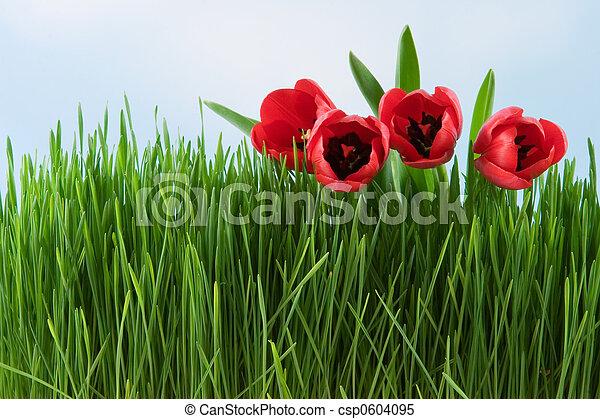 Tulips - csp0604095
