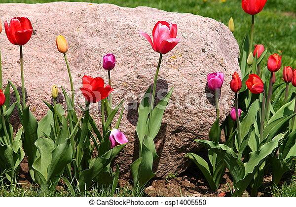 Tulips - csp14005550